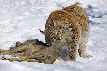 Lynx (Lynx lynx), male with prey, roe deer (Capreolus capreolus), enlosure, captive, Thuringia, Germany, Europe