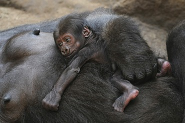 Western Lowland Gorilla (Gorilla gorilla gorilla), baby sleeping on the belly of its mother, captive, African species, zoo animals, Lower Saxony, Germany, Europe