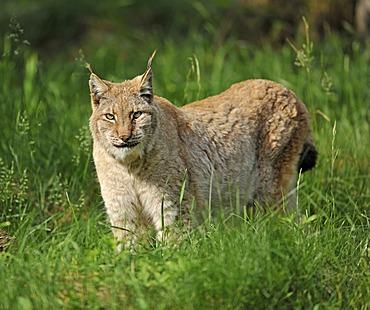 Lynx (Lynx lynx), game reserve, Lower Saxony, Germany, Europe, PublicGround