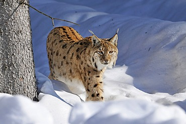 Lynx (Lynx lynx), walking through deep snow, Bavarian Forest National Park, Bavaria, Germany, Europe, PublicGround