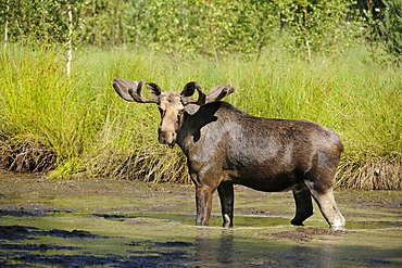 Moose or Eurasian Elk (Alces alces), bull in velvet, standing in water, captive, Germany, Europe, PublicGround