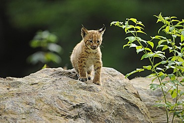 Lynx (Lynx lynx), young, animal enclosure Bavarian Forest National Park, Bavaria, Germany, Europe