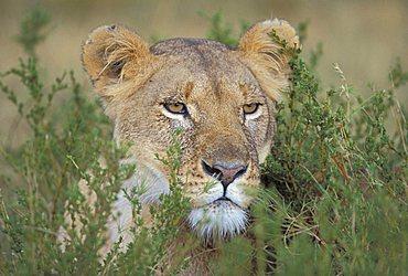 A lion looking through grass, Masai Mara, Kenya, Africa