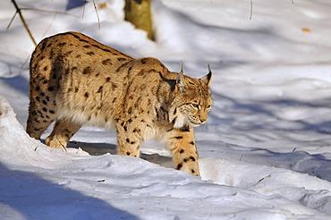 Lynx (Lynx lynx), walking though snow, animal enclosure Bavarian Forest National Park, Germany, Europe