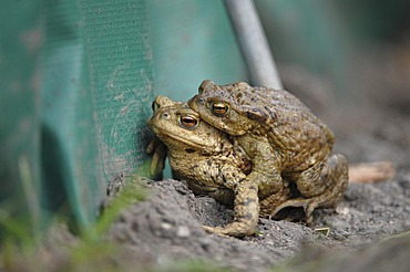 Common Toads (Bufo bufo), pair at a protective fence, Thuringia, Germany, Europe