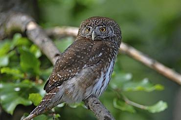 Pygmy Owl (Glaucidium passerinum), Central Europe's smallest owl, Bavarian Forest National Park, Germany, Europe