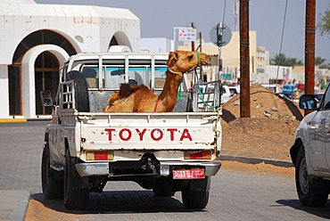 Camel on the back of a car, Ibra, Oman