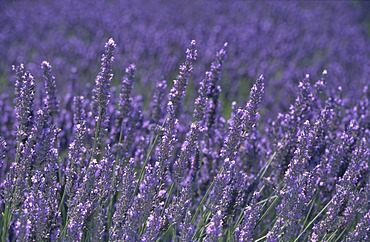 Lavender blossoms (Lavandula angustifolia)