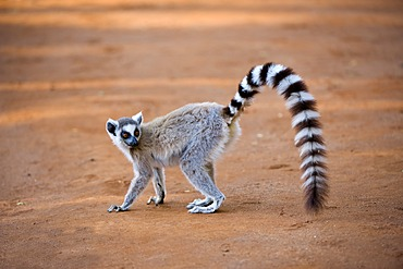 Ring-tailed Lemur (Lemur catta), Near Threatened, Berenty Nature Reserve, Madagascar, Africa