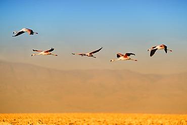 Andean Flamingos (Phoenicoparrus andinus) in flight, Laguna de Chaxa, Atacama desert, Chile, South America
