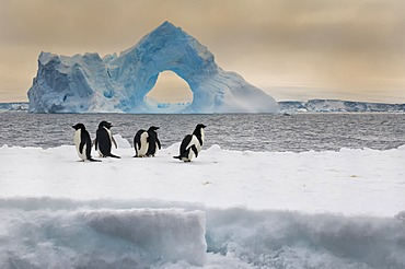Group of Adelie penguins (Pygoscelis adeliae) on an iceberg, natural arch iceberg in the back, Paulet Island, Erebus and Terror Gulf, Antarctic Peninsula, Antarctica