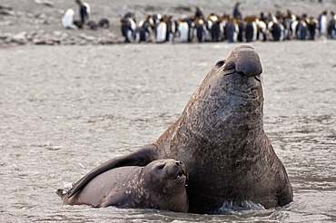 Southern Elephant Seals (Mirounga leonina) mating, St. Andrews Bay, South Georgia Island