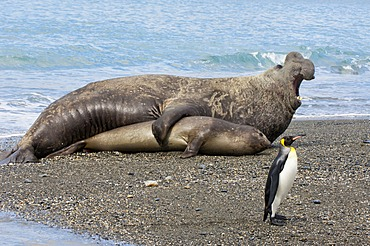 King penguin (Aptenodytes patagonicus) walking in front of a mating Southern Elephant Seal (Mirounga leonina), St. Andrews Bay, South Georgia Island