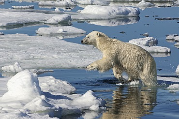 Female Polar bear (Ursus maritimus) jumping over ice floe, Svalbard Archipelago, Barents Sea, Norway