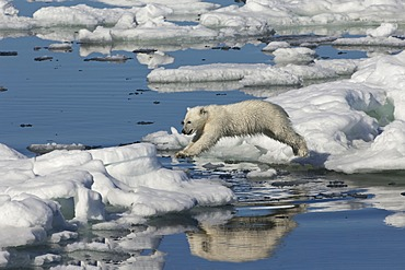 Polar bear cub (Ursus maritimus) jumping, Svalbard Archipelago, Barents Sea, Norway