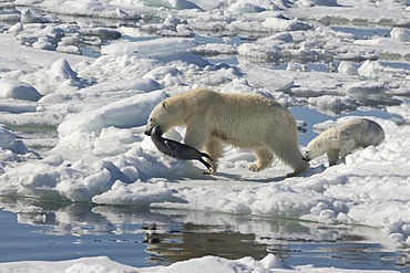 Female Polar bear (Ursus maritimus) dragging a Ringed seal (Pusa hispida or phoca hispida) and accompanied by one cub, Svalbard Archipelago, Barents Sea, Norway
