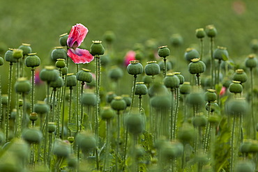 Poppy field, Armschlag, Waldviertel, Forest Quarter, Lower Austria, Austria, Europe