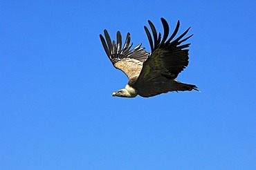 Griffon vulture (Gyps fulvus), flying