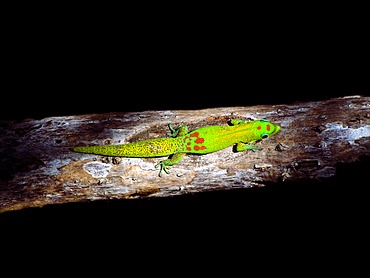 Gecko gold dust day gecko (Phelsuma laticauda), Hawaii, USA