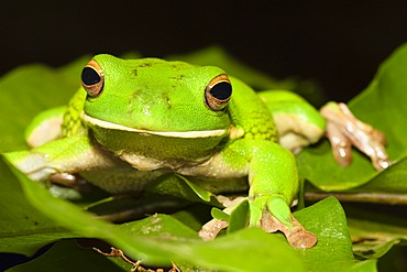 White-lipped Treefrog or Giant Tree Frog (Litoria infrafrenata), rainforest, Iron Range National Park, Cape York Peninsula, northern Queensland, Australia