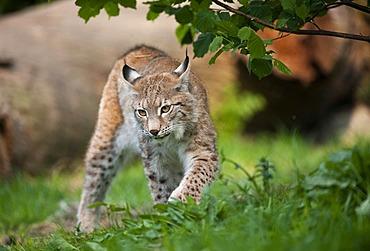 Northern Lynx (Lynx lynx)