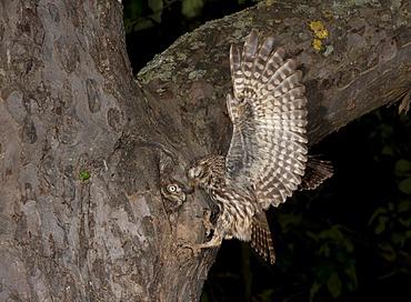 Little Owl (Athene noctua), approaching nesting hole