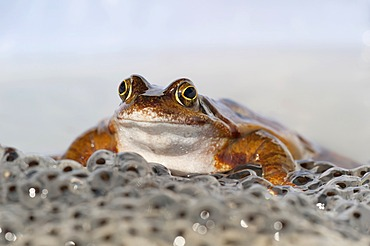 Common Frog (Rana temporaria), spawning, Daun, Eifel, Rhineland-Palatinate, Germany, Europe