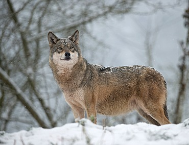 Wolf (Canis lupus) standing in the snow