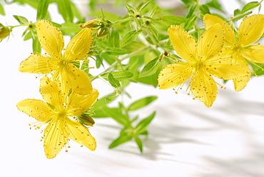 St. John's, Tipton's Weed, Chase-devil or Klamath weed (Hypericum perforatum), medicinal plant