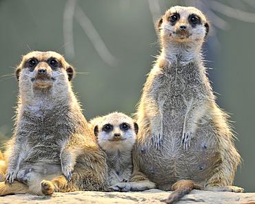 Meerkats (Suricata Suricatta), family, one young