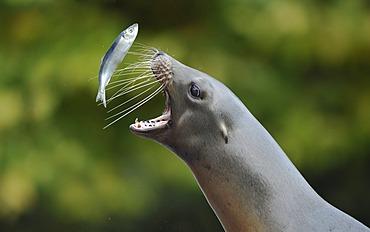 California sea lion (Zalophus californianus), female catching herring