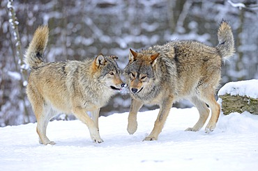 Mackenzie valley wolves, Canadian timber wolves (Canis lupus occidentalis), young wolves playing in the snow