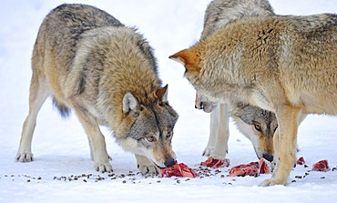 Mackenzie valley wolves, Canadian timber wolves (Canis lupus occidentalis) in the snow, eating meat