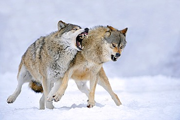 Mackenzie-Wolves, Eastern wolf, Canadian wolf (Canis lupus occidentalis) in snow, fight for social ranking