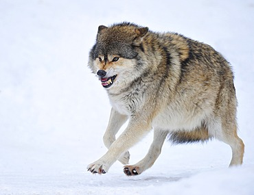 Mackenzie Wolf, Eastern wolf, Canadian wolf (Canis lupus occidentalis) in the snow, omega wolf not accepting lower rank, baring teeth, aggressive