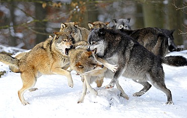 Mackenzie Valley Wolves, Canadian Timber Wolves (Canis lupus occidentalis) in the snow, fight for rank order, alpha female, right, reprimanding a young wolf, in front of the pack
