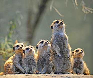 Meerkats (Suricata suricatta), family with young