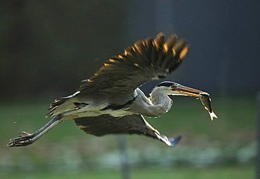 Grey Heron (Ardea cinerea) in flight with fish prey, Stuttgart, Baden-Wuerttemberg, Germany, Europe