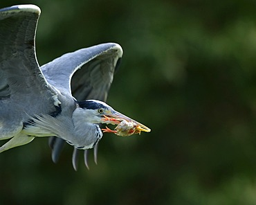 Grey Heron (Ardea cinerea) with captured chicken, in flight, Stuttgart, Baden-Wuerttemberg, Germany, Europe