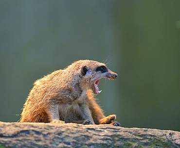 Meerkat or Surikate (Suricata suricatta), occurrence in Africa, captive, Baden-Wuerttemberg, Germany, Europe