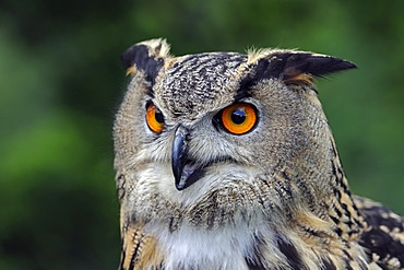 European Eagle Owl (Bubo bubo), portrait