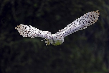 Snowy Owl (Bubo scandiacus, Nyctea scandiaca) in flight