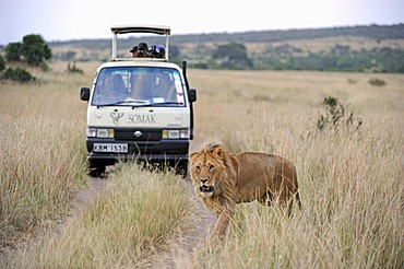 Lion (Panthera leo), male, in front of a safari vehicle, Masai Mara National Reserve, Kenya, East Africa, Africa
