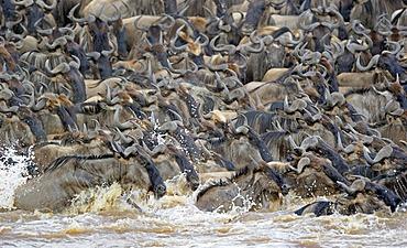 Wildebeest (Connochaetes taurinus), Gnu migration, wildebeest while crossing the Mara River, Masai Mara, East Africa, Africa