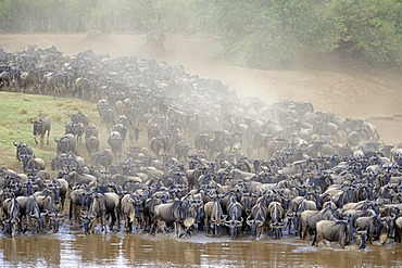 Migration of the Blue or Common Wildebeest (Connochaetes taurinus), wildebeest jostling for positions on the shore of the river Mara, Masai Mara, Kenya, East Africa, Africa