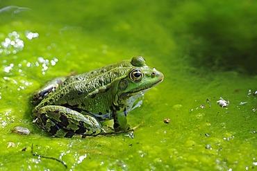 Edible Frog (Pelophylax esculentus, Rana esculenta), Brandenburg, Germany, Europe