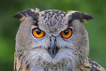 European Eagle Owl (Bubo bubo), portrait, Hesse, Germany, Europe