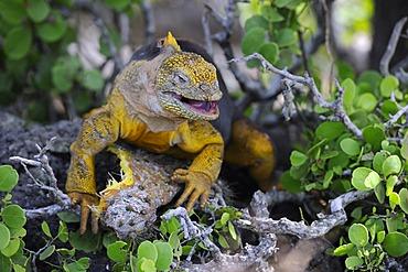 Galapagos Land Iguana (Conolophus subcristatus), island of Plaza Sur subspecies, feeding on a Galápagos prickly pear leaf (Opuntia echios), Galapagos Islands, UNESCO World Heritage Site, Ecuador, South America