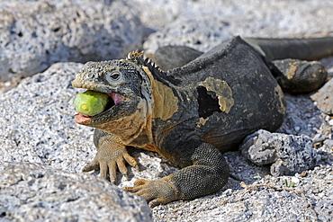 Galapagos Land Iguana (Conolophus subcristatus), island of Plaza Sur subspecies, eating a Galápagos prickly pear (Opuntia echios), Galapagos Islands, UNESCO World Heritage Site, Ecuador, South America