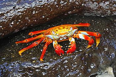Red Rock Crab or Sally Lightfoot Crab (Grapsus Grapsus), Espanola Island, Galapagos, UNESCO World Heritage Site, Ecuador, South America